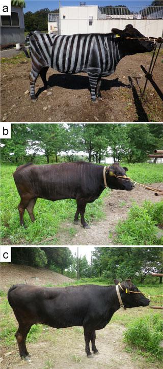 charte graphique du zebre appliquée à la vache